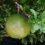 Große Frucht am Baum. Pomelo?