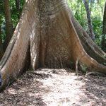 Frau neben Riesenbaum