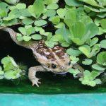 Frosch im Brunnen halb unter Blättern