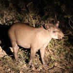 Tapir bei Nacht