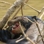 Otter isst Fisch