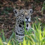 Jaguar im Schilf