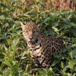 Jaguar am Ufer