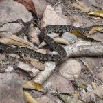 Klapperschlange auf Blättern am Weg